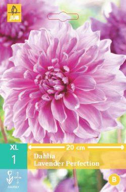 Dahlia Lavender Perfection 1st.