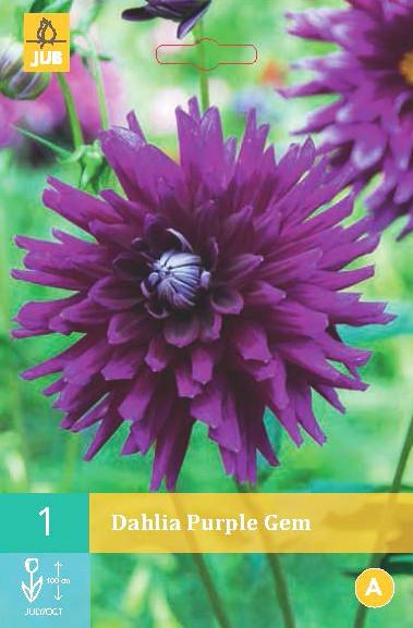 Dahlia Purple Gem 1st.