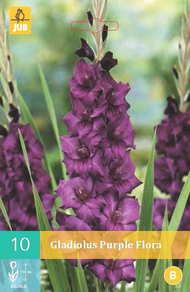 Gladiool Purple Flora 10st.