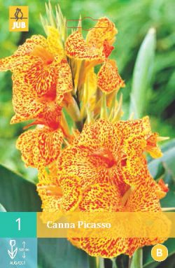 Canna Picasso 1st.