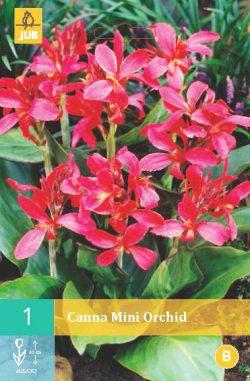 Canna Mini Orchid Beauty 1st.