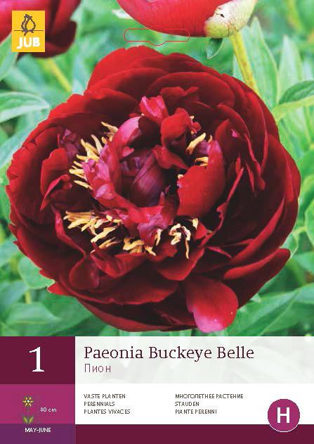Pioenroos Buckeye Belle 1st.