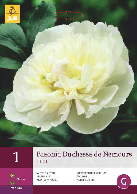 Pioenroos Duchesse De Nemours 1st.