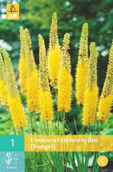 Eremurus Stenophyllus 1st.