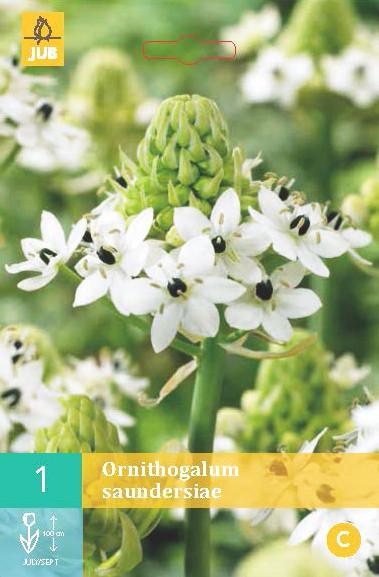 Ornithogalum Saundersiae 1st.