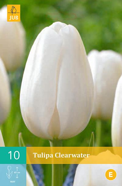 Tulpen Clearwater 10st.