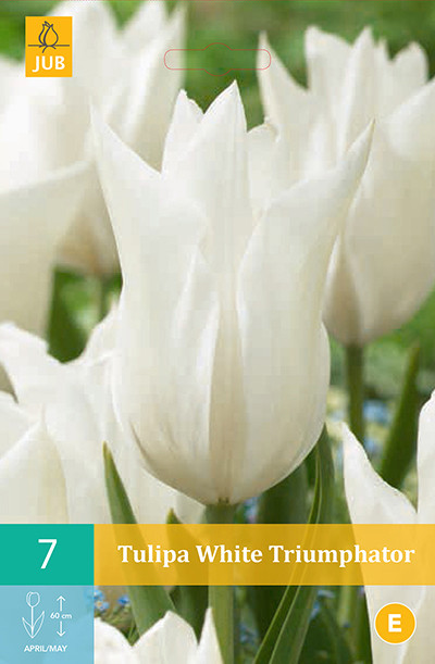 Tulpen White Triumphator 7st.