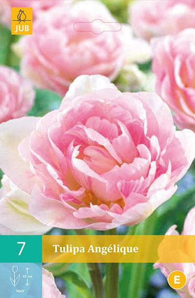 Tulpen Angélique 7st.