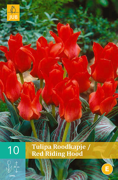 Tulpen Red Riding Hood 10st.