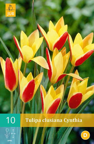 Tulpen Clusiana Cynthia 10st.