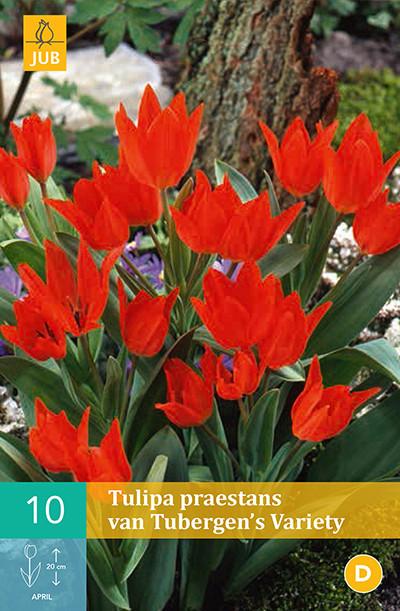 Tulpen Praestans Van Tubergen's Variety 10st.