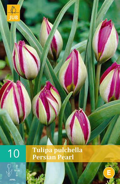 Tulpen Pulchella Persian Pearl 10st.