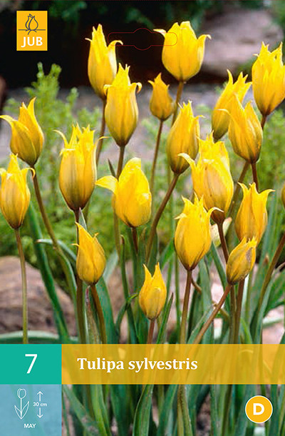 Tulpen Sylvestris 7st.