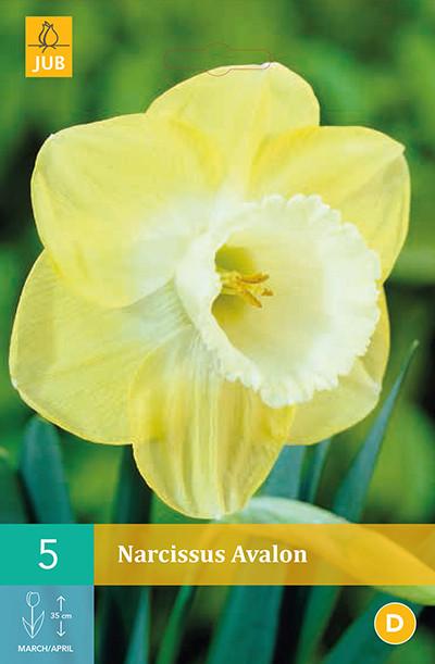 Narcissus Avalon 5st.