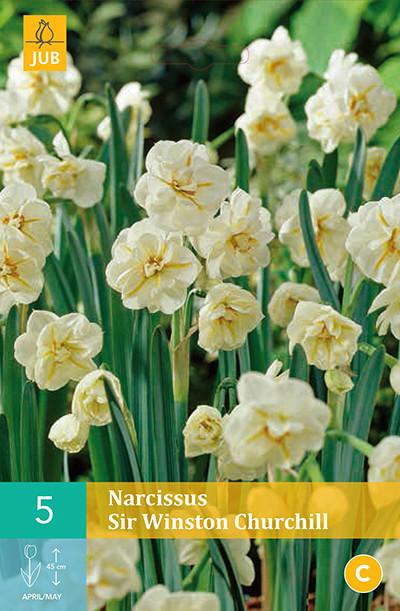 Narcissus Sir Winston Churchill 5st.