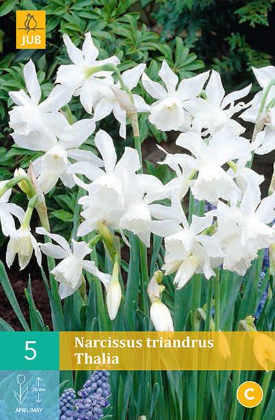 Narcissus Triandrus Thalia 5st.