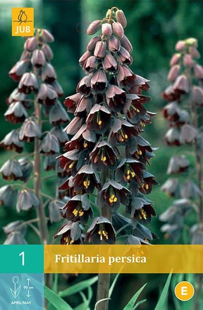 Fritillaria Persica 1st.