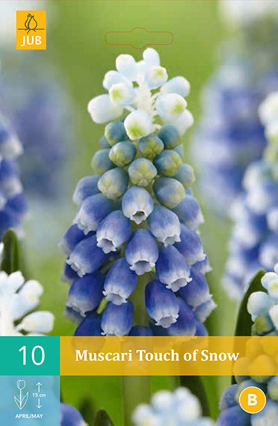 Muscari Touch Of Snow 10st.