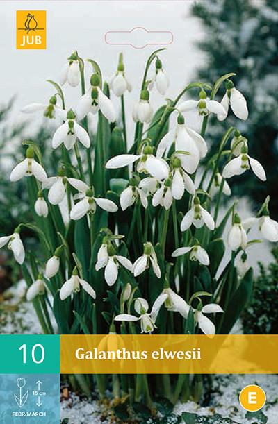 Galanthus Elwesii 10st.