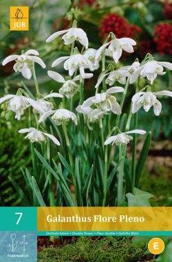 Galanthus Flore Pleno 7st.