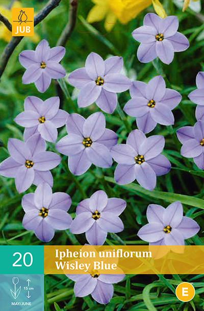 Ipheion Uniflorum Wisley Blue 20st.