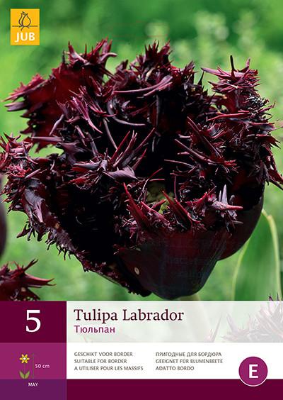 Tulpen Labrador 5st.