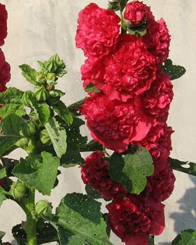 Alcea Rosea Double Red 2st.