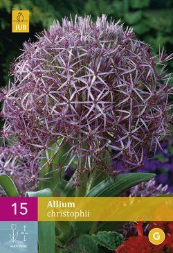 Allium Christophii 15st.