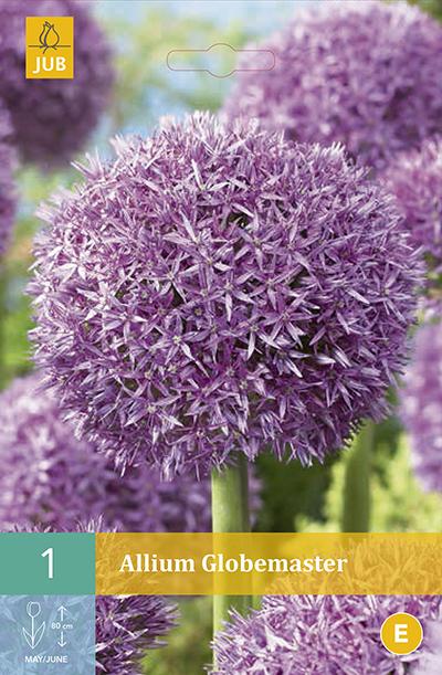 Allium Globemaster 1st.