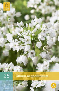 Allium Neapolitanum 25st.