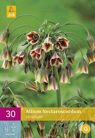 Allium (Nectaroscordum) Siculum 30st.