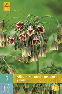 Allium (Nectaroscordum) Siculum 5st.