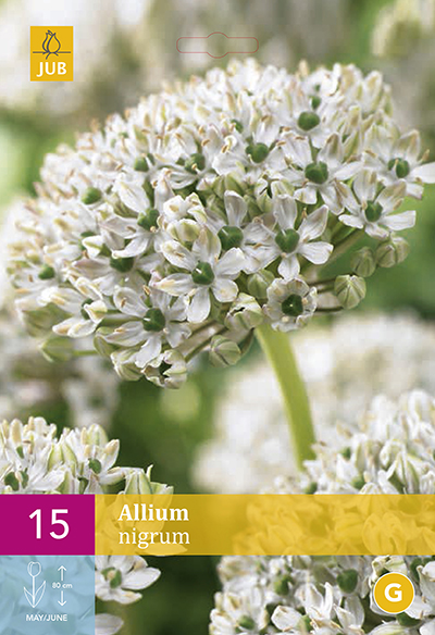 Allium Nigrum 15st.