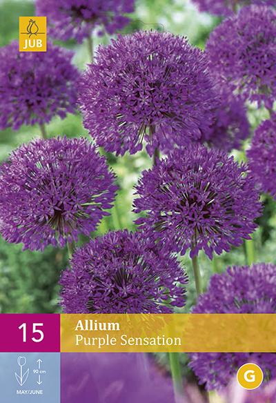 Allium Purple Sensation 15st.