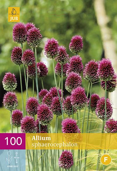Allium Sphaerocephalon 100st.