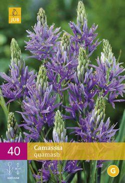 Camassia Quamash 40st.