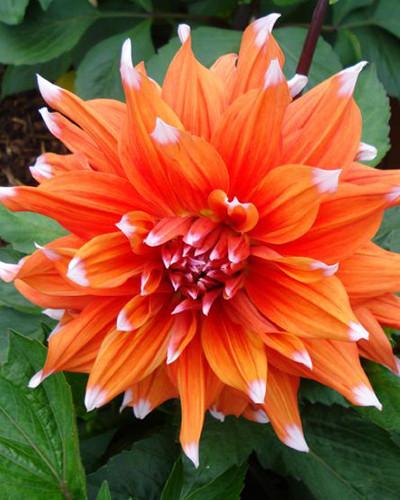 Dahlia Color Spectacle 1st.