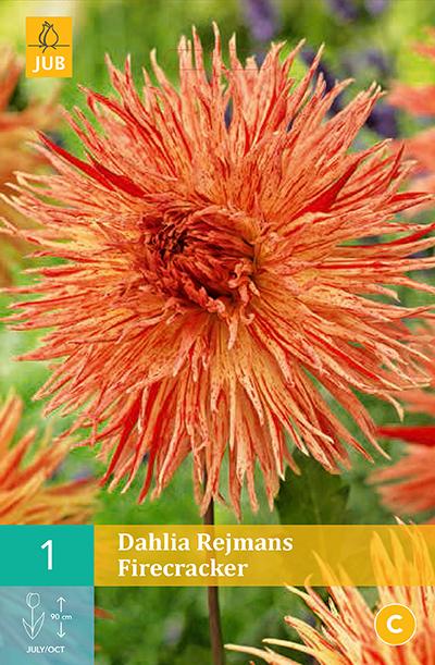 Dahlia Rejmans Firecracker 1st.