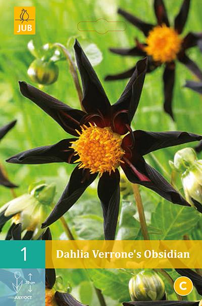 Dahlia Verrone's Obsidian 1st.