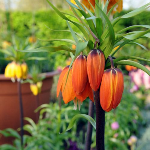 Fritillaria Imp. Aurora 1st.