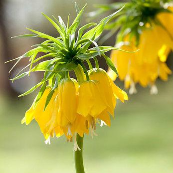 Fritillaria Imp. Lutea 1st.