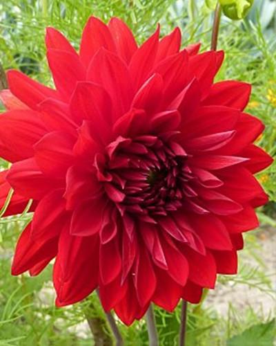 Dahlia Garden Wonder 1st.