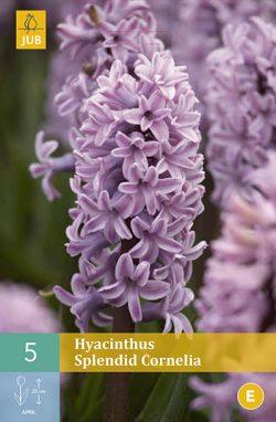 Hyacint Splendid Cornelia 5st.