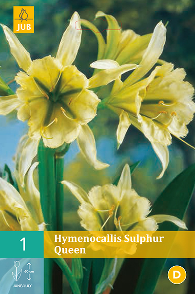 Hymenocallis Sulphur Queen 2st.