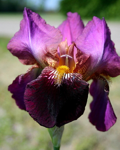 Iris Germanica Senlac 1st.