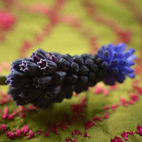 Muscari Latifolium 15st.