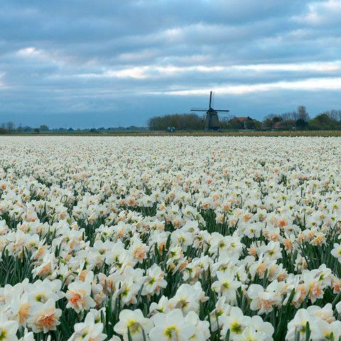 Narcissus Delnashaugh 5st.