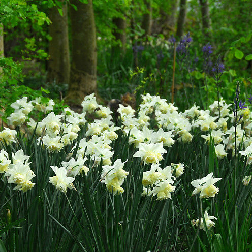 Narcissus Ice Follies 5st.