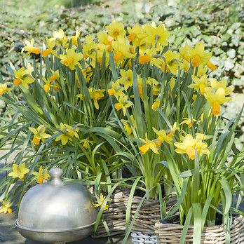 Narcissus Jetfire 5st.