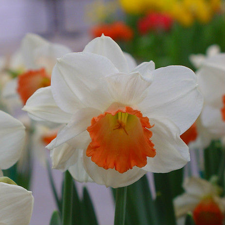 Narcissus Pink Charm 5st.